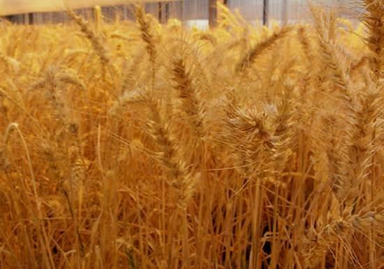 Dünyanın gözü buğdayda