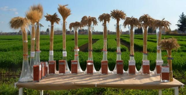 Adana, Türkiye'nin Buğday Tohumunu Üretiyor