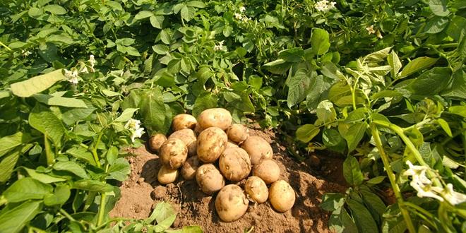 patates_