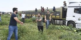 CHP'Lİ GENÇLER KARPUZ HASADINDA